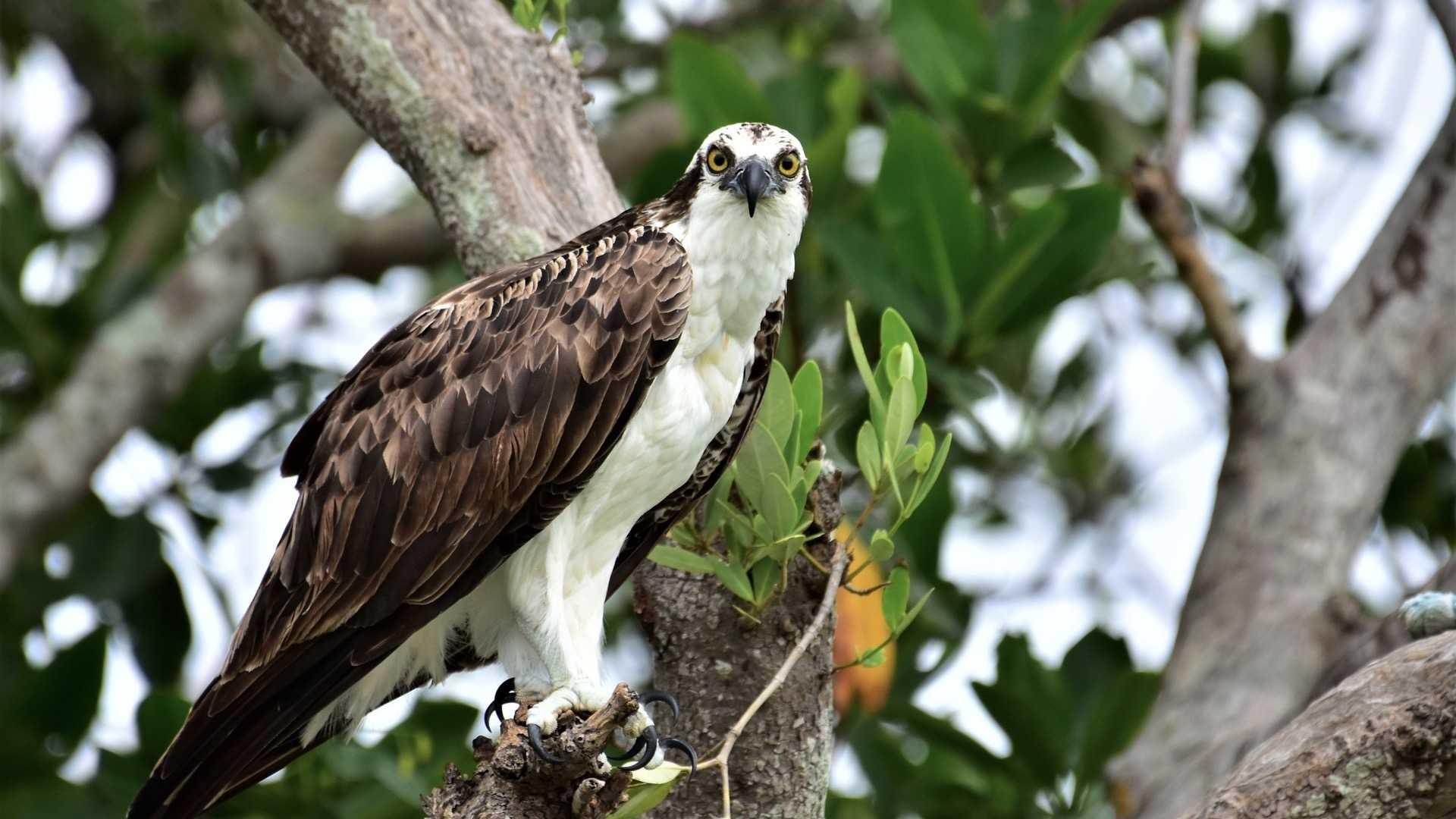 Aguila Pescadora-1-1